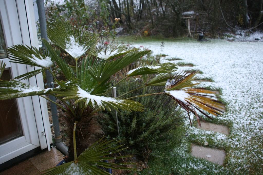 My poor palm tree in the snow...